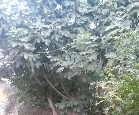 עץ התאנה בחצרו של של בנו של צבי סדן